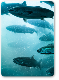 University of New Brunswick Applies @RISK to Sustainable Seafood Farming