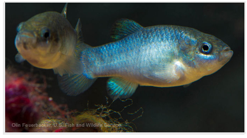 @RISK Helps Keep Pupfish from the Brink of Extinction